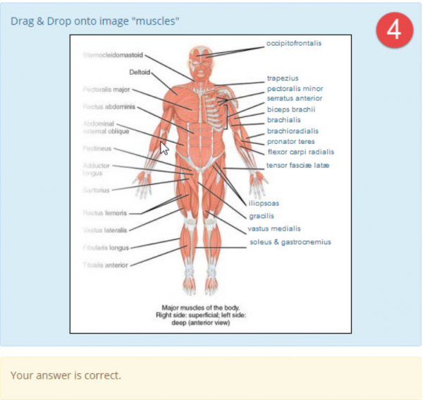 DDinto image anatomy muscles example4.png