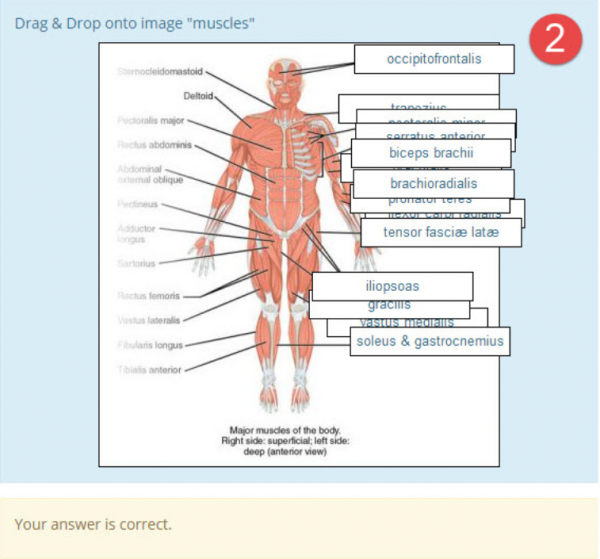 DDinto image anatomy muscles example2.png