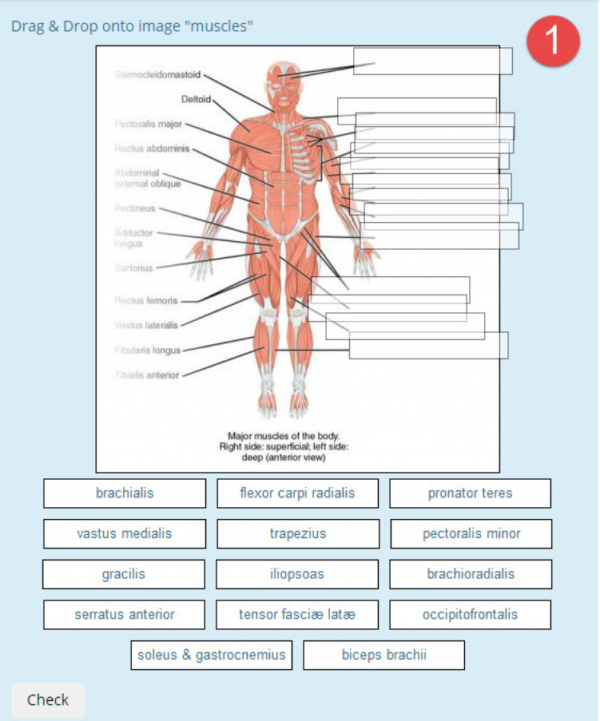 DDinto image anatomy muscles example1.png